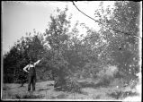 L. C. Rolph in his orchard, 1904
