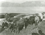 Clear Lake, Washington, logging using oxen, circa 1885-1890