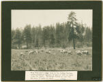 Alex Hamilton's sheep camp in the Indian Springs section, Klickitat County, Washington 1910