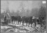 Men & oxen working in the woods