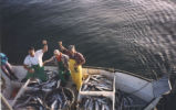 1200 fish day off Lummi Island, 1992