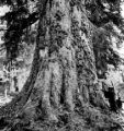 Large tree in Olympic National Park