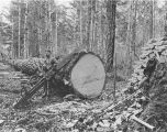 Logger with drag saw and tools