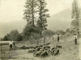 Charlie Davis and pigs, Cougar Ridge, Washington, circa 1915