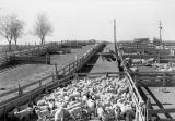 Lambs from feeding experiment, Prosser, Washington, March 7, 1938