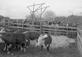 Pea vine steers at Feeder's Day, Prosser, Washington, March 27, 1946