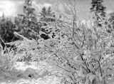 Snow covered plant, December 25, 1938