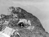 Panieri dog on summit of French Cabin Mountain, October 7, 1938