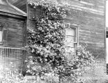 Rose bush, Kittitas County, Washington, June 1938