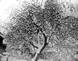 Apple tree covered in snow, December, 1937