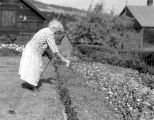 Theresa Panieri cutting hedge with Portable Drill Hedge Cutter, July, 1949