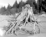 Stump at Lake Cle Elum, April, 1949