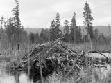 Beaver house near Bullfrog Bridge, April 1947