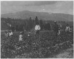 Abe Gagnon's strawberry field