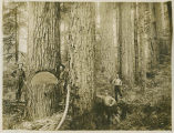 Loggers and old-growth trees