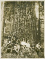 Loggers posing with old-growth tree