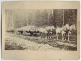 Calligan Logging operation, horse drawn rail cart, Whidbey Island, Washington, 1887