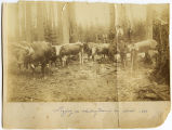 Calligan Logging operation, loggers with oxen team, 1887