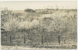 Cherry orchards, Langley, WN, Whidbey Island May 1922