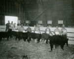Junior calf scramble contestants at the 1953 Palouse Empire Fair