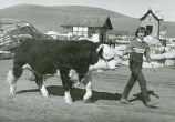 Hereford takes part in the Parade of Champions, Palouse Empire Fair, Mockonema, Washington, 1969