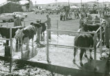 Cattle grooming at the Palouse Empire Fair, Mockonema, Washington, 1968