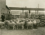McGregor lambs at Chicago stockyards